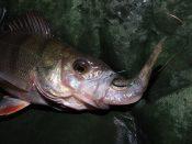 Barsch mit Köderfisch im Maul